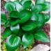 Хоста Devon green (Девон Грин)