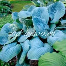 Хоста Sapphire Pillows (Cапфир Пиллоус)