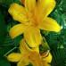 Лилейник гибридный Middendorffii (Миддендорфа)