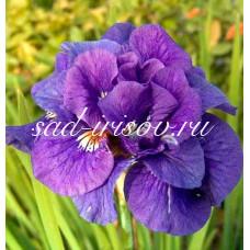 Ирис сибирский KABLUEY