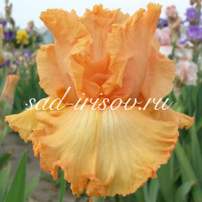 Огненный Цветок бородатый ирис