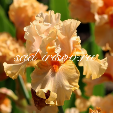 Ирис бородатый Peach Butter (Пич Батэр)