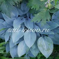 Хоста Канадиан Блю (Canadian Blue)