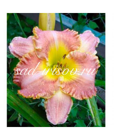 Лилейник розовый (2207)