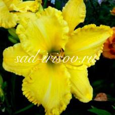 Лилейник желтый (сеянец 2208)