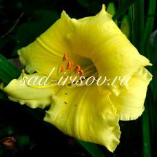 Лилейник гибридный желтый