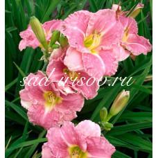 Лилейник Romantic Rose