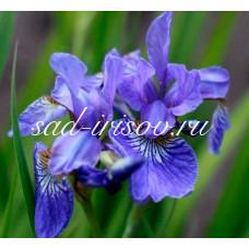 Ирис сибирский Early Blue Bird